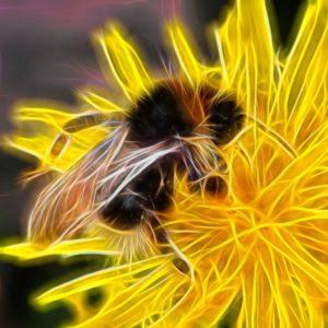 nature. electrified. - fauna - hellgelbe erdhummel – bombus lucorum – white-tailed bumblebee – マルハナバチ